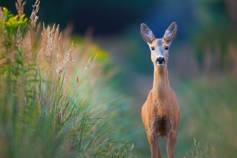 roe-deer, wildlife, nature Blueberry\'s momphoto preview