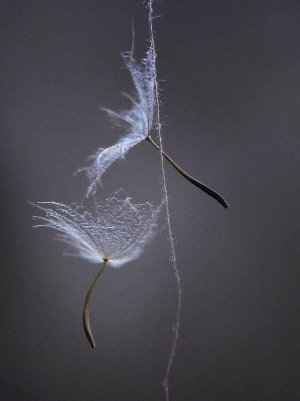 семена, нитка, макро, растение, природа, гимнастика, танец, воздух, высота воздушные гимнастыphoto preview