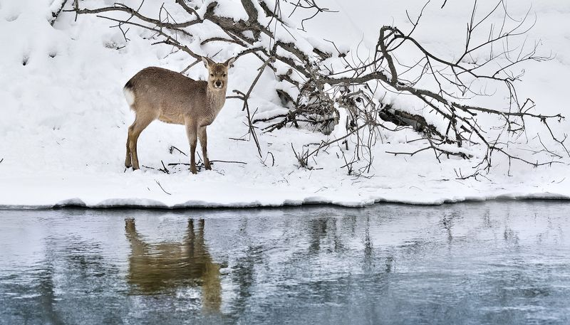 Thirsty Roe deerphoto preview