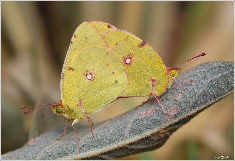 парочка бабочки желтушки армения crocea Сладкая парочка )photo preview