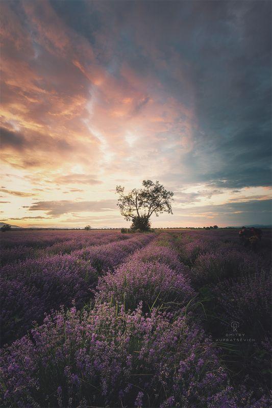 болгария, рассвет, лаванда, пейзаж Лавандовый рассветphoto preview