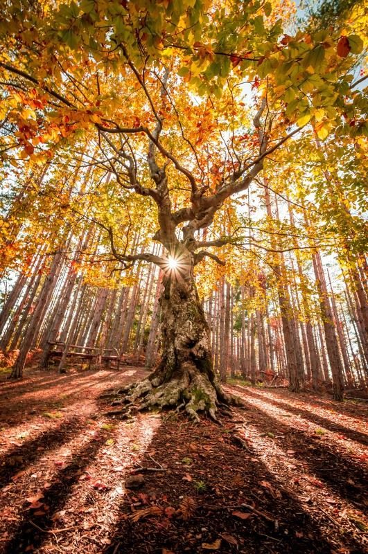 forest,tree,nature,autumn,sun,sunstar King of the forestphoto preview