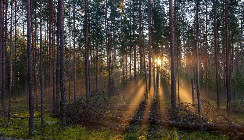 Шалово-Перечицкий, заказник, Луга, лес, бор, Ленинградская область Утро в туманном лесуphoto preview