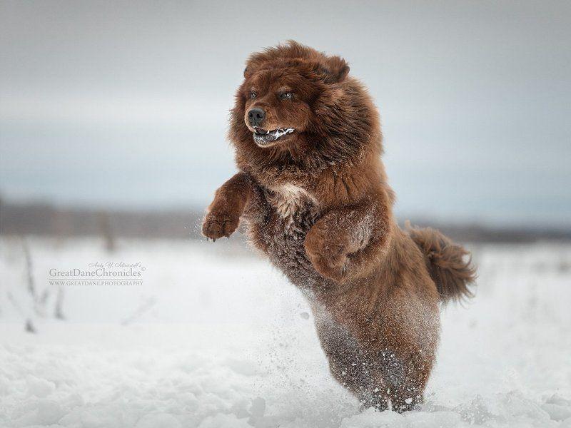tibetan mastiff tibetan mastiffphoto preview