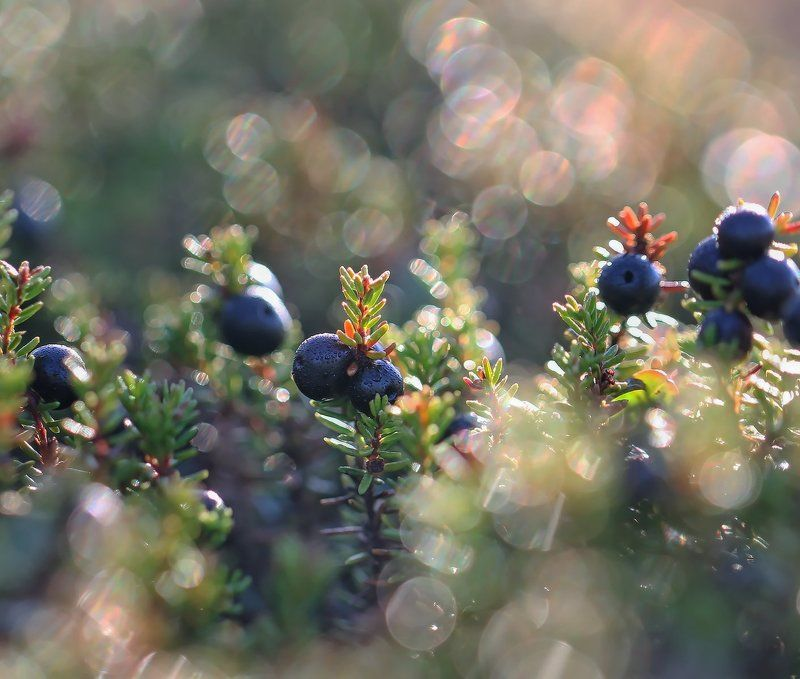 шикша, водяника, вороника, ягода, якутия Водяникаphoto preview
