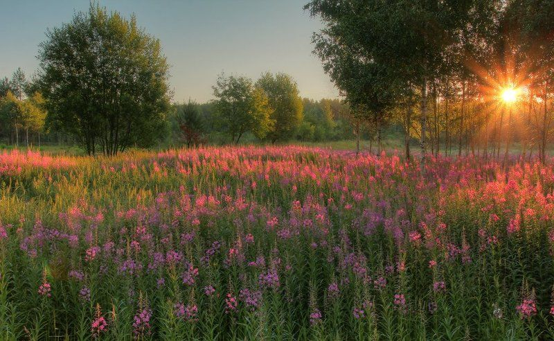 утро,рассвет,иван-чай Иван-чайphoto preview