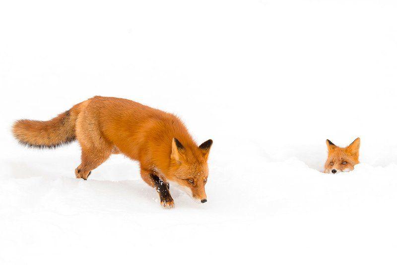 камчатка, зима, лиса, природа, животные,  Кто пришел?photo preview