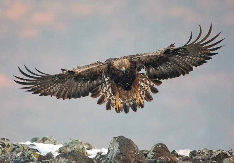 Скален Орел  Aquila chrysaetosphoto preview