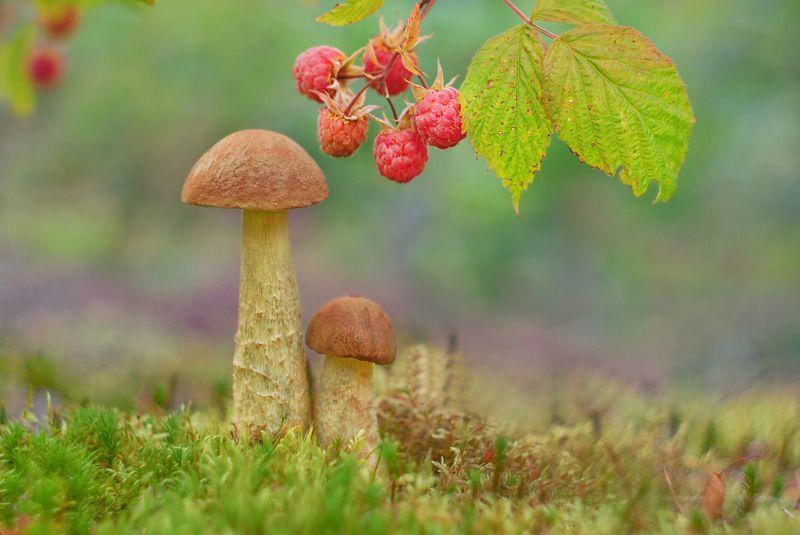 грибы, природа, гелиос В коричневом берете, самый вкусный гриб на светеphoto preview