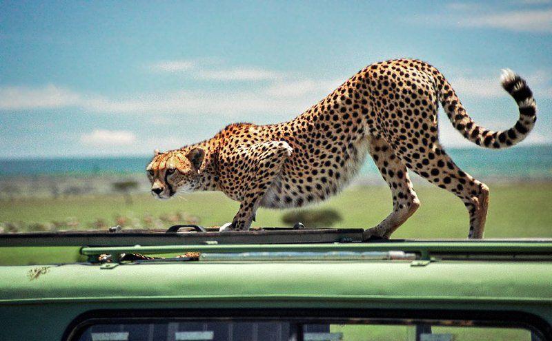 cheetah Всем в джипе тише, кот на крыше!photo preview