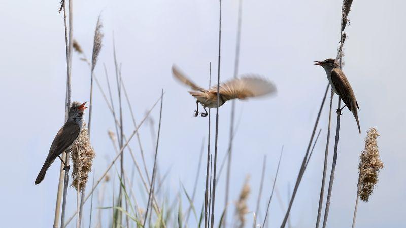 Камышовки, третий лишний.photo preview