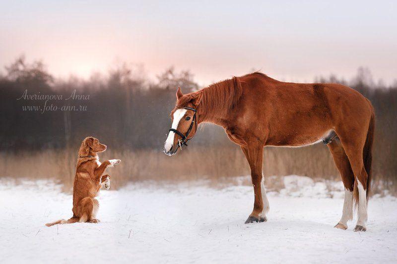 собака, лошадь, природа, ретривер, рыжие  Давай дружить! photo preview
