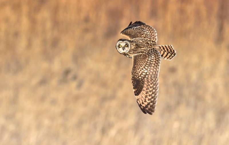 Short-eared Owlphoto preview