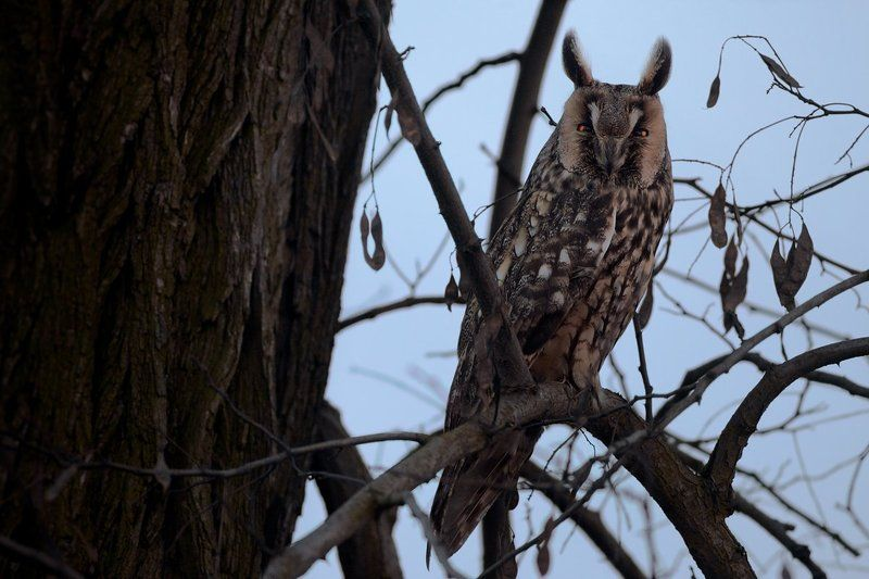 olw, wildlife, Long-eared owl Long-eared owlphoto preview