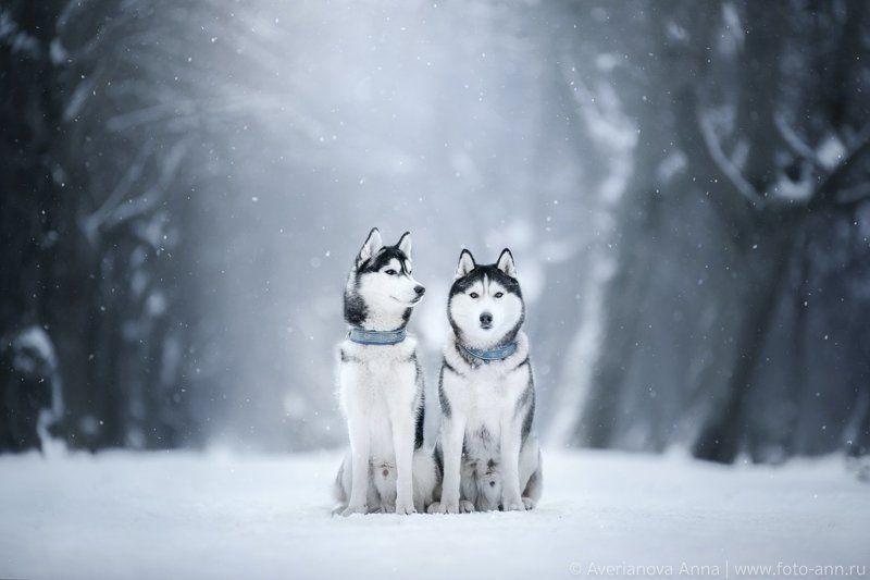 собаки, природа, зима, хаски Хаскиphoto preview