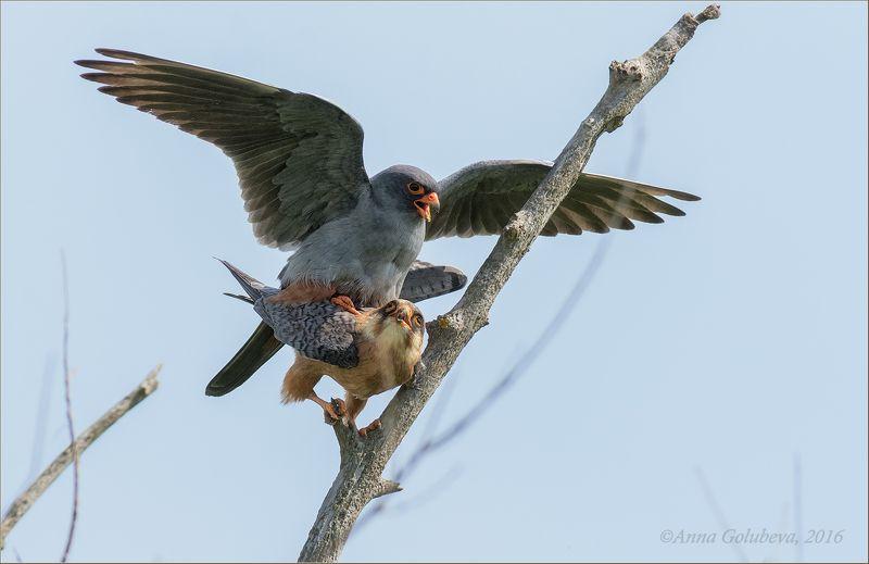 птицы, природа, кобчик, falco vespertinus, сокол, весна, май, 2016, калмыкия, россия photo preview