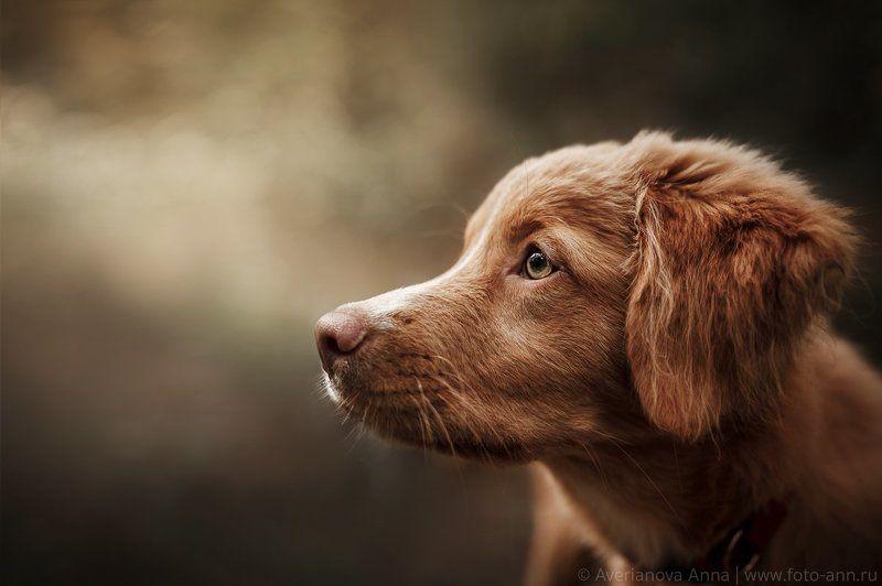 собака, ретривер, портрет Взглядphoto preview