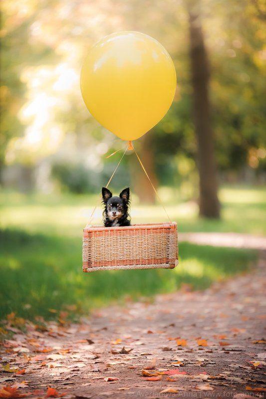 собаки, праздник, лето Летающие той терьерыphoto preview