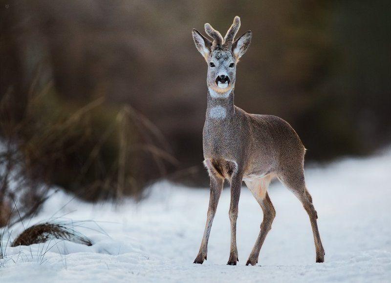 roe-deer, wildlife, nature, winter Snow-deerphoto preview