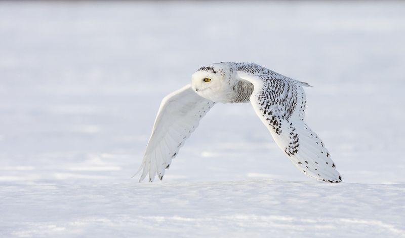 harfang / snowy owl / strix nebulosa Harfand des Neigesphoto preview