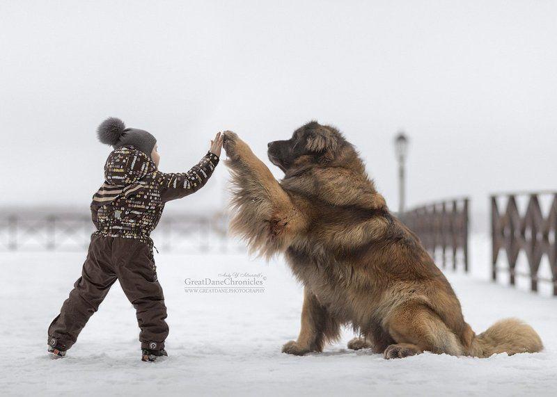зима, собаки, леонбергер, дети Проша, Дай Пять!photo preview