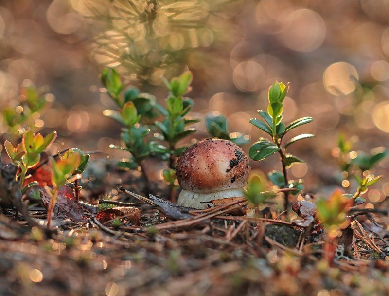 гриб, боровик, якутия, нерюнгри Боровичокphoto preview