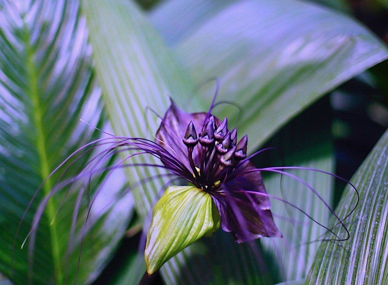 Tacca Chantrieriphoto preview
