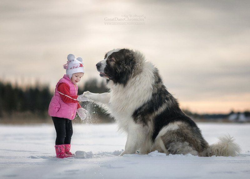 кавказкая овчарка, дети, зима Дай пять, Багги!photo preview