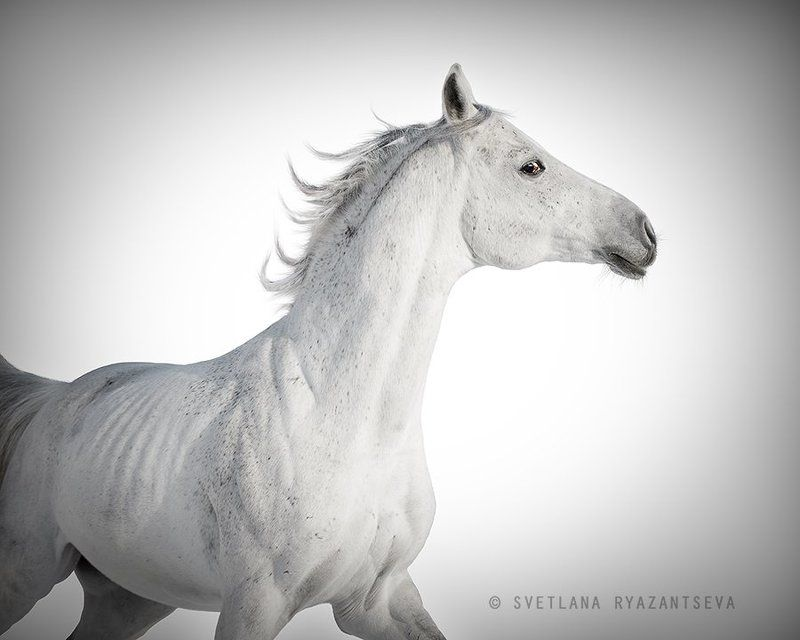 animal, arab, arabian, background, beautiful, breed, dark, equestrian, equine, gallop, grey, head, horse, isolated, mammal, motion, portrait, purebred, stallion, white, лошадь, лошади, арабская, арабский, жеребец, серый, серая, белый Воздушныйphoto preview