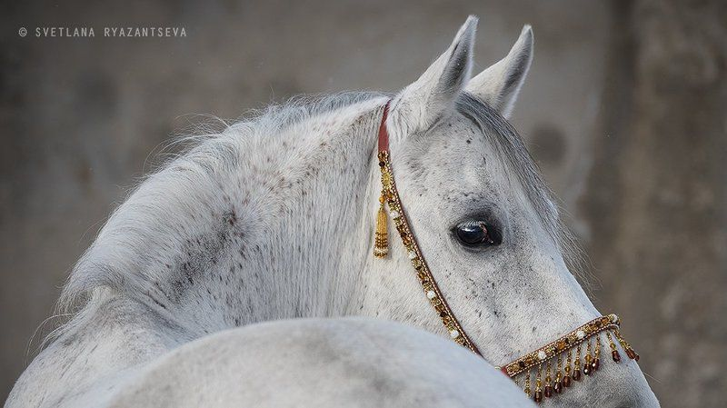 animal, arab, arabian, back, beautiful, breed, closeup, eye, grey, head, horse, isolated, look, portrait, purebred, stallion, white, лошадь, лошади, портрет, серый, серая, чистокровный, арабская, арабский Арабские мотивыphoto preview