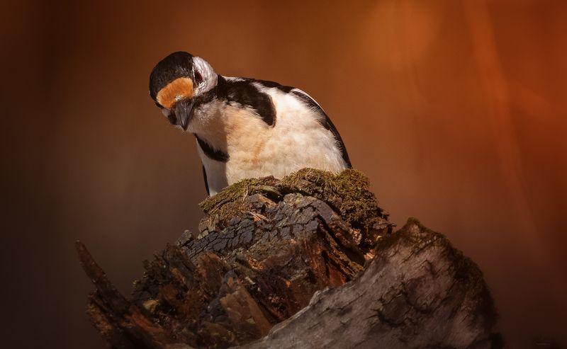 природа, лес, животные, птицы Настороженное любопытствоphoto preview
