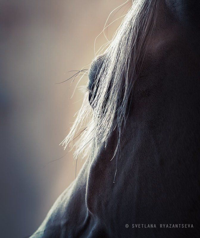 closeup, isolated, horse, white, stallion, head, dark, portrait, grey, arabian, mane, arab, detail, eye, animal, лошадь, портрет, арабская, арабский, жеребец, лошади Arabian dreamphoto preview
