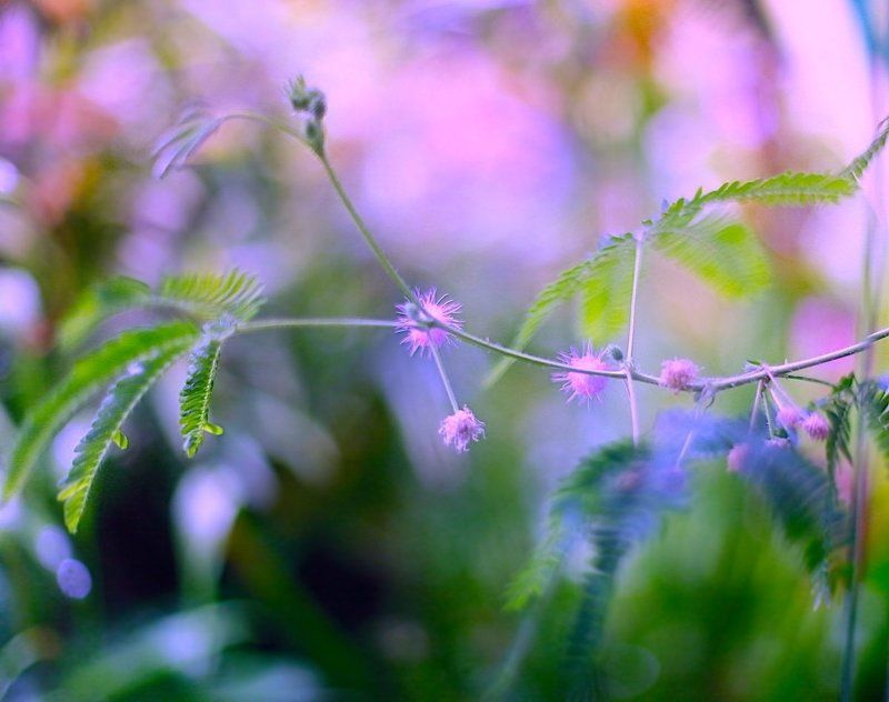 Mimosa Pudicaphoto preview