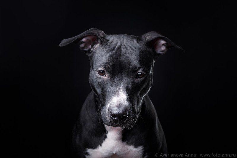собака, студия, черное на черном портрет на черномphoto preview