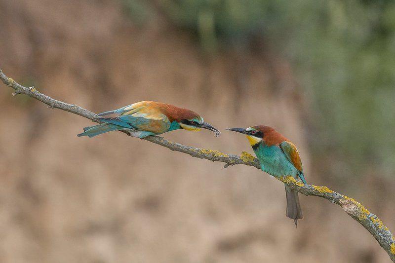 european bee-eater, birds, birder\'s corner, merops apiaster European Bee-eaters\' (Merops apiaster) courtshipphoto preview