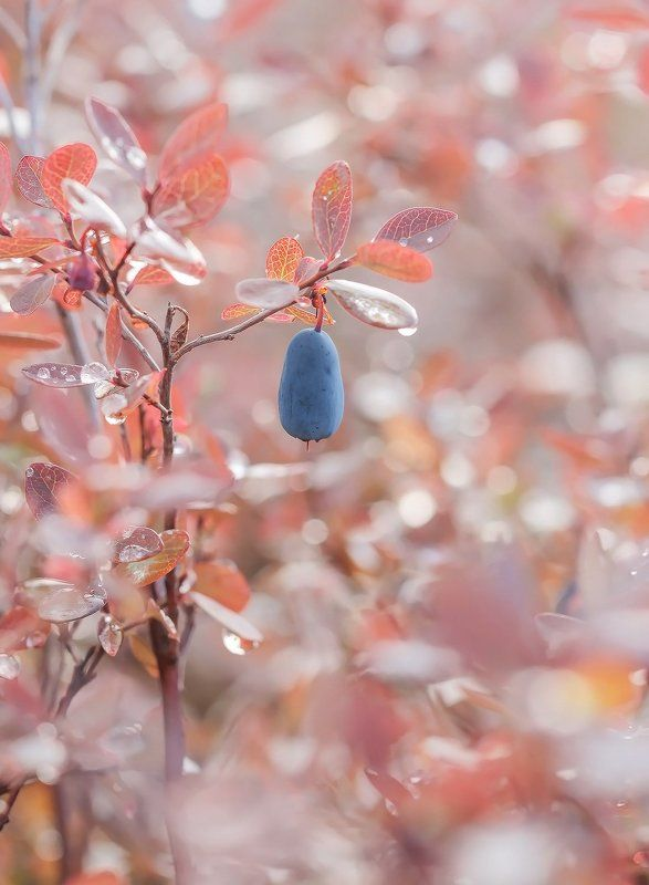 ягода, голубика, якутия, нерюнгри Нежностьphoto preview