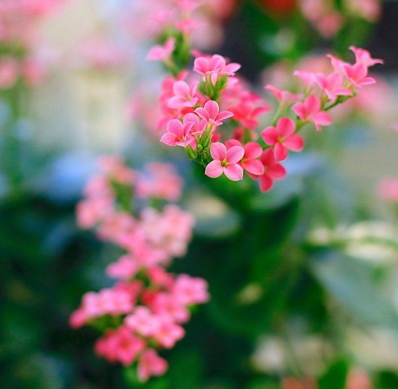 Kalanchoe Blossfeldianaphoto preview