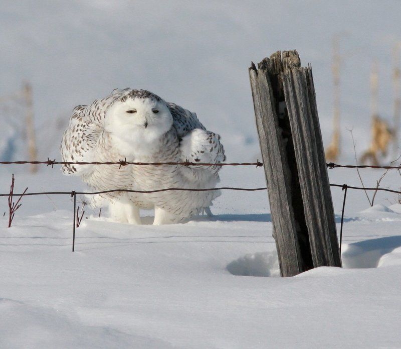 harfang / snowy owl / strix nebulosa Harfang des Neigesphoto preview