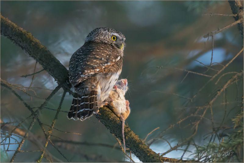 птицы, природа, сыч, glaucidium passerinum, pygmy owl, воробьиный сыч, зима, февраль, 2017, москва, гбс Зоркий охотникphoto preview