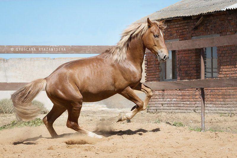 outdoor, dust, horse, stallion, red, rear legs, sand, farm, paddock, motion, bay, play, ranch, animal, rear, лошадь, лошади, свечка, рыжий, жеребец Играphoto preview