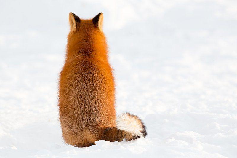 камчатка, лиса, зима, природа, животные,  Обиделсяphoto preview