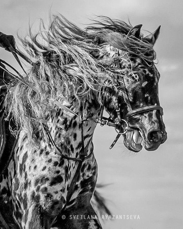 horse, appaloosa, motion, gallop, лошадь, лошади Ветер в гривеphoto preview