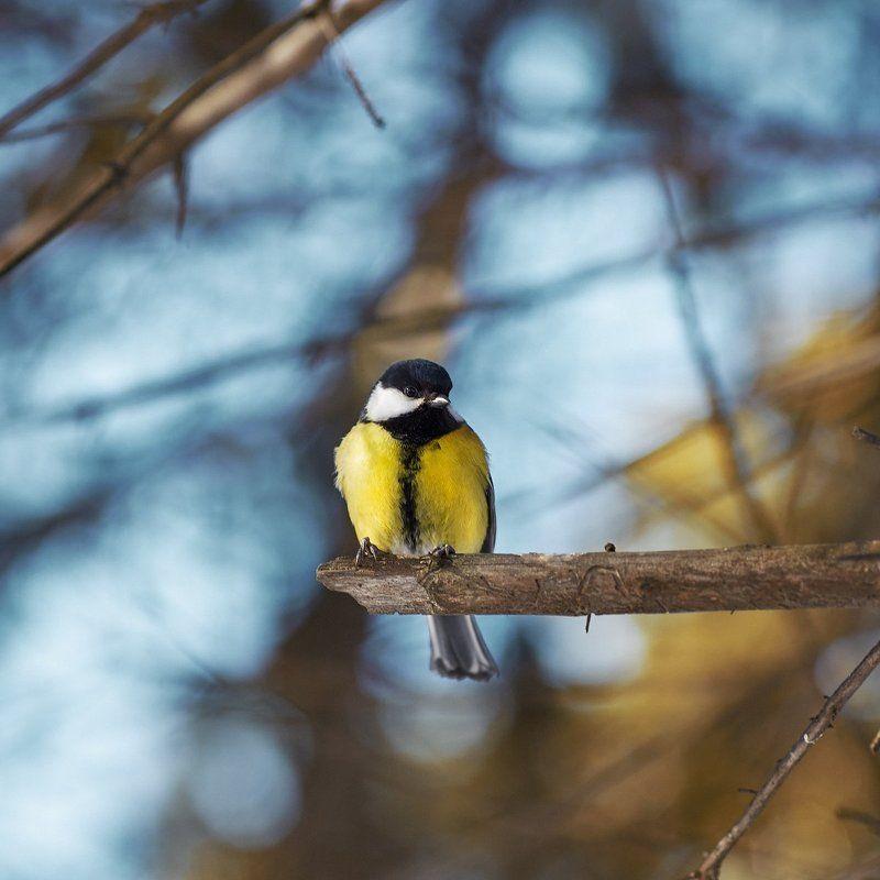 Природа, Птицы, Сибирь, Томск Весенние синичкиphoto preview