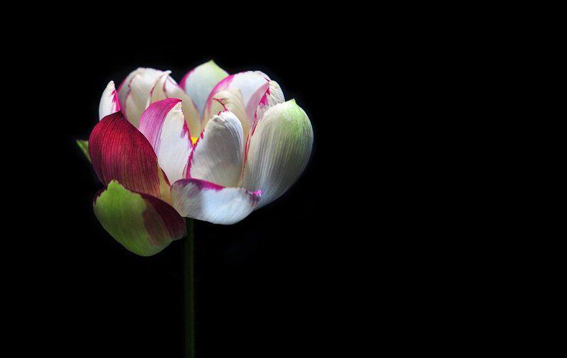 lotus  Lotus photographerphoto preview