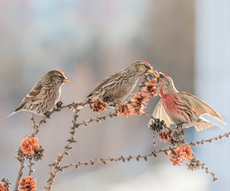 Самец чечетки, Чечетка, Якутия Веселые чечеткиphoto preview