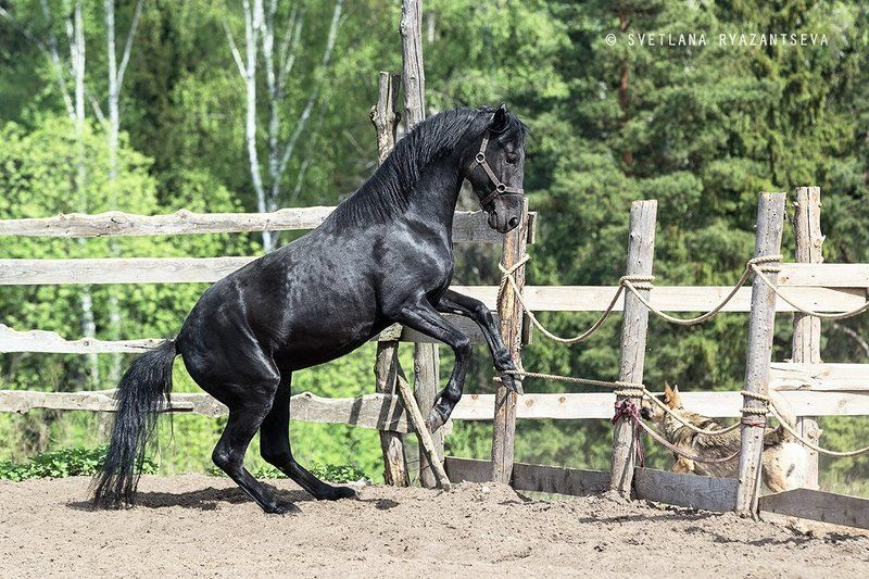 outdoor, dust, horse, stallion, sand, summer, farm, black, paddock, background, play, nature, dog, ranch, animal, лошадь, лошади, собака, жеребец, вороной Побегphoto preview