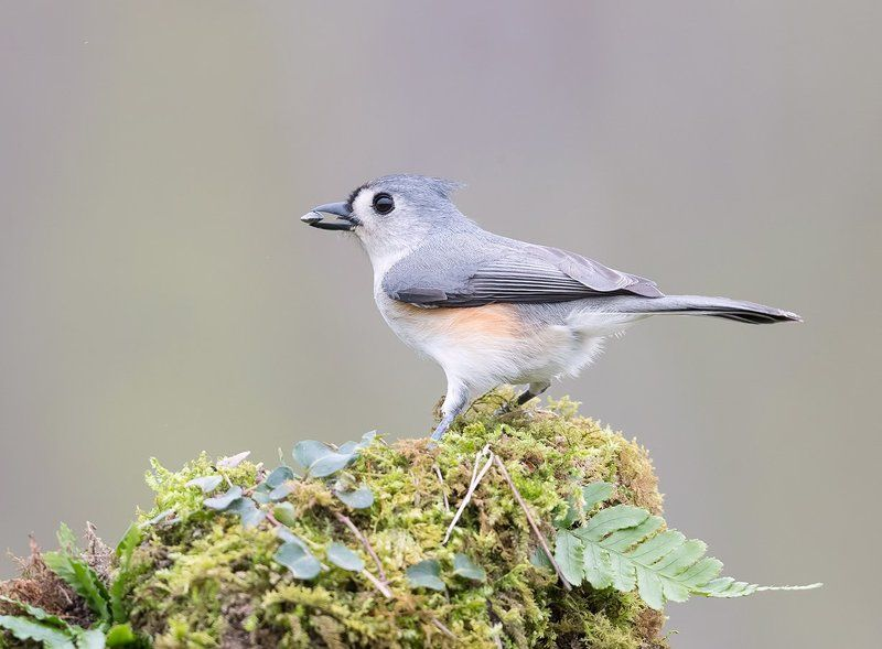 острохохлая синица,tufted titmouse, синица Острохохлая синица -Tufted Titmousephoto preview