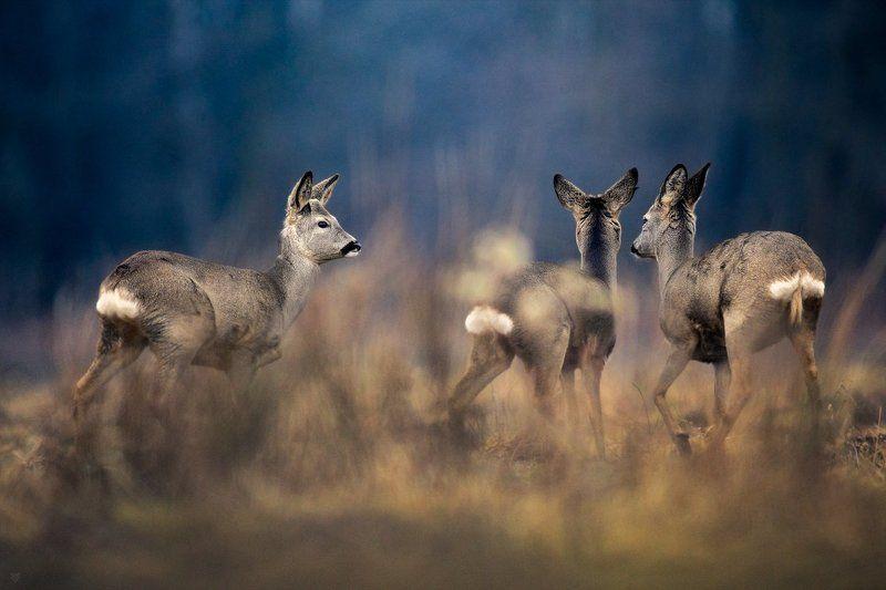 roe-deers, wildlife, field,trio Gossip girlsphoto preview
