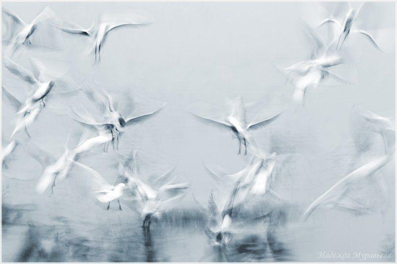 озёрная, чайка, larus, ridibundus \