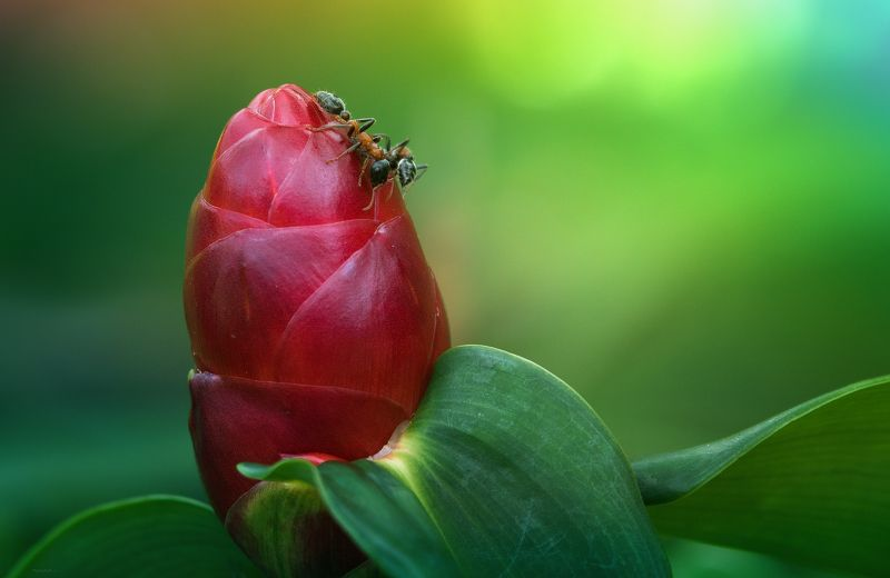 природа, муравьи , макро, таиланд Сладкий завтракphoto preview